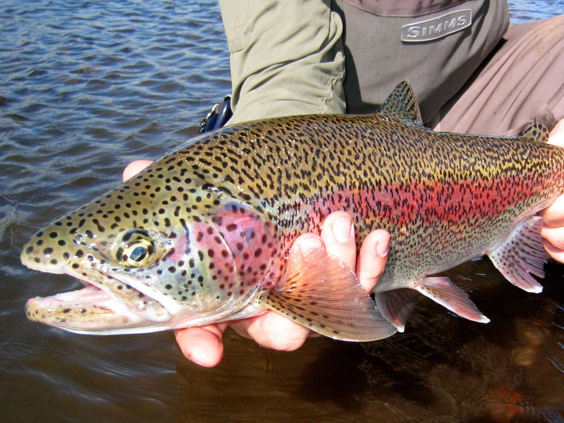 How to fish for trout for How to fish for rainbow trout